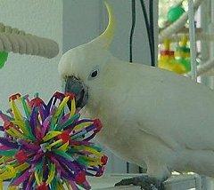 In Praise Of Sulphur-Crested Cockatoos