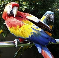scarlet caninde macaws