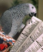 African Grey Myths: Greys Are Feather Pluckers