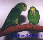 Parrotlets in Aviculture: The Various Species