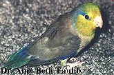 An Introduction To Parrotlets