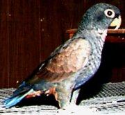 bronze winged pionus