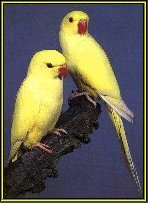 Introduction to Ringneck Parakeets