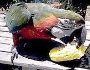 macaw eating corn