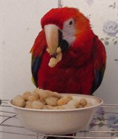macaw eating almonds