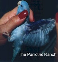 Parrotlets In Aviculture: Caring For Your Parrotlet