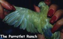 Color Mutation Pacific Parrotlets