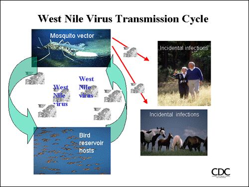 An Overview Of The West Nile Virus